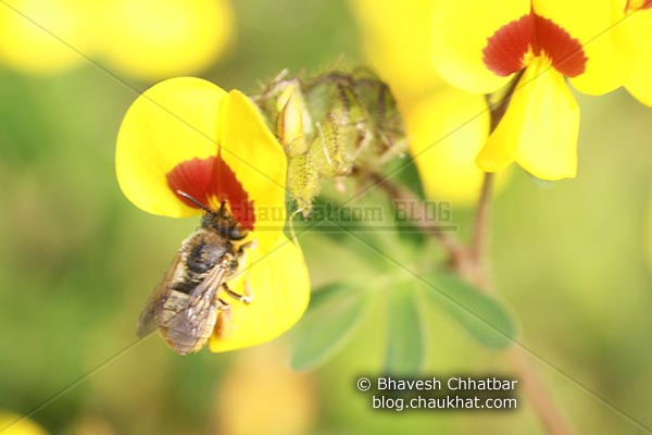Bee on Bristly Smithia [AKA Smithia Setulosa, Motha Kawla, मोठा कवला]